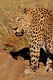 Male leopard