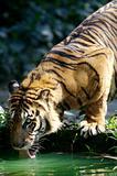 Maylaysian Tiger