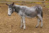 Thoughtful burro