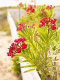 Red Oleander bush.