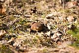 Bullfrog in Forest