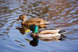 Male and Female Mallard Duck