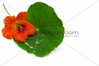 Beautiful red flower and wet green leaf isolated on glass table