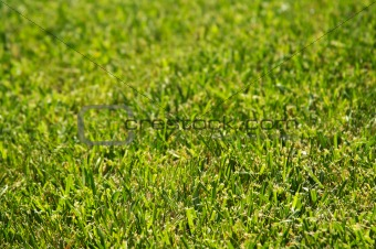 Lush Green Backlit Grass