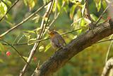 Robin on a euonymus branch
