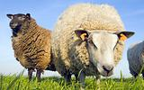 Sheep on grass looking at the lens