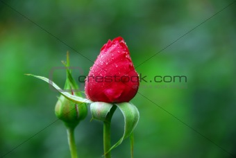 Red rose's buds