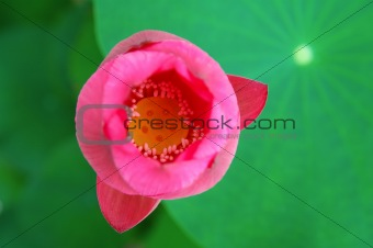 Top view of lotus flower