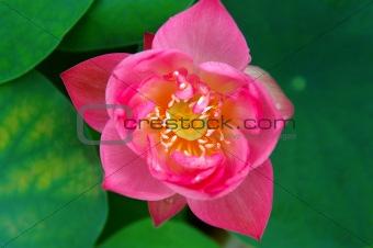 Top view of lotus flower