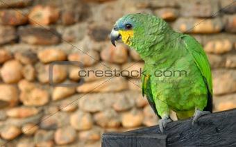 Green yellow parrot