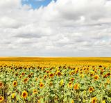 Sunflowers field.