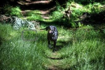 Black dog running in forest