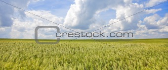 Green wheat field and blue sky .