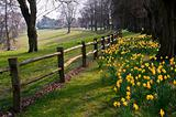 Beautiful daffodil covered walkway through forest scene