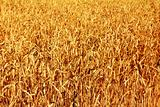 yellow field with ripe wheat