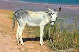 grazing donkey