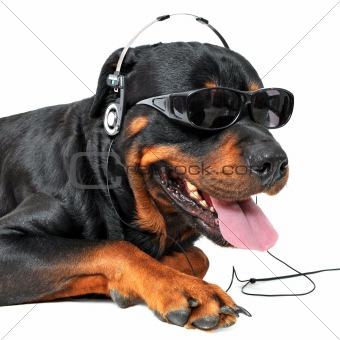 rottweiler and music