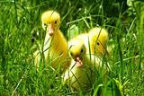 gosling in grass