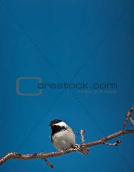 Black-Capped Chickadee Eating a Seed.