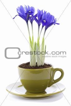 growing iris flowers in a cup