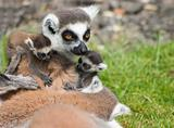 Lemur Family