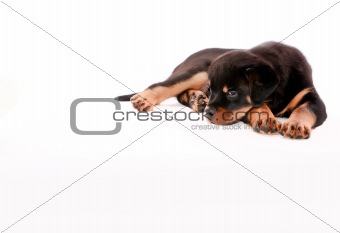 Rottweiler puppy.
