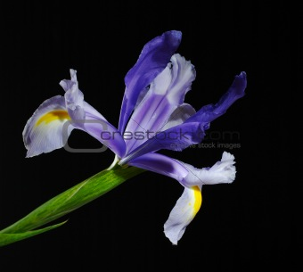 Blue Iris on Black