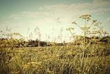 Field of wild dill in the afternoon sun