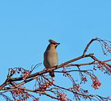 Bohemian Waxwing on Rowan