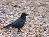 Carrion Crow on shingle beach