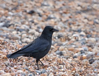 Carrion Crow on shingle beach