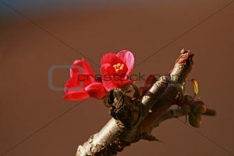 Chaenomeles flower