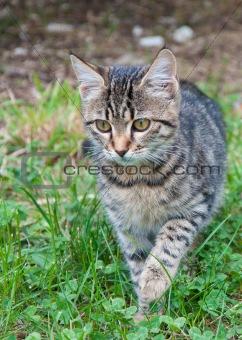 Kitten creeping