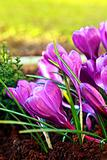 Beautiful crocuses close up