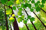 Vibrant green spring leaves in the forest
