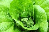 Celery cabbage