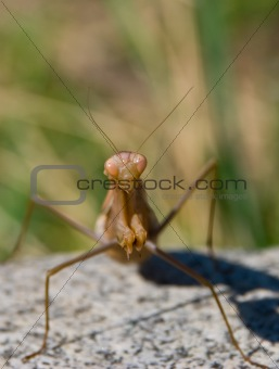 A portrait of a brown mantis