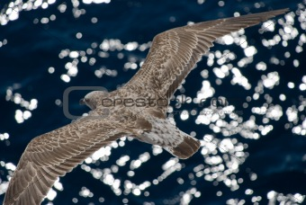 Gray seagull in flight