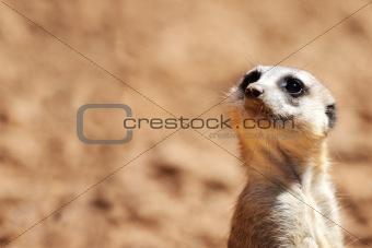 African suricate