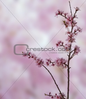 Beautiful high key bright Spring blossom image
