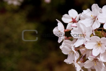 Beautiful fresh Spring blossom detail
