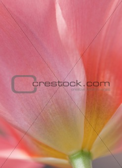 Beautiful macro close up of fresh Spring vibrant tulip flower