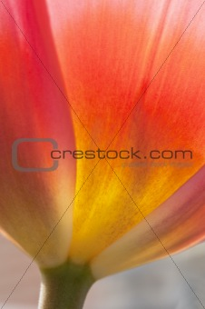 Beautiful macro close up of fresh Spring vibrant tulip flower
