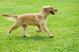 Little golden retriever dog running on the lawn