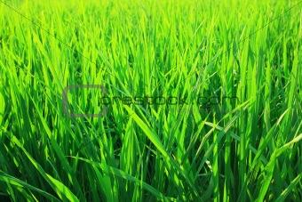Green seedlings of cereal crops