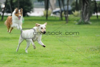 Two dog chasing
