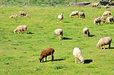 Sheeps in green field.