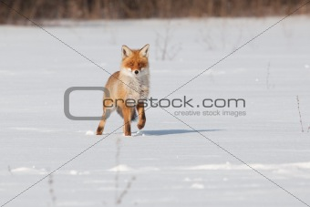 Fox on white snow