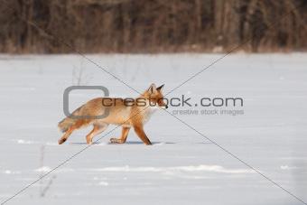 Fox on white snow
