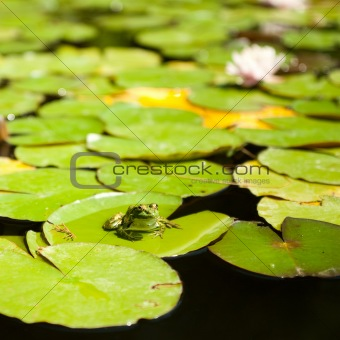 frog sitting on lotus leaves